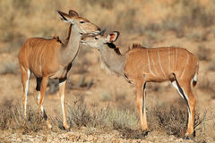 Kudu antelopes Royalty Free Stock Images