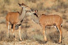Kudu antelopes Royalty Free Stock Images
