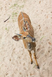 Kudu antelopes Stock Photography