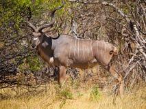 Kudu antilop Royaltyfri Foto
