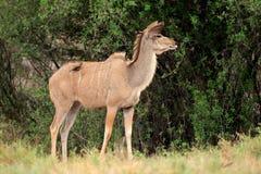 Kudu antilop Arkivfoto