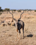 Kudu antilop Arkivfoton