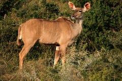Kudu antilop Fotografering för Bildbyråer
