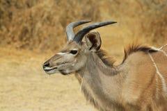 Kudu antilop - afrikansk djurlivbakgrund - Harley Horns Royaltyfri Foto