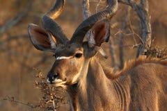 Kudu antilop i den Kruger nationalparken, Sydafrika arkivbild