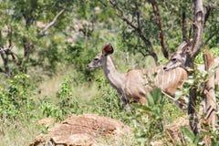 Kudu antilop på flyttningen royaltyfri bild