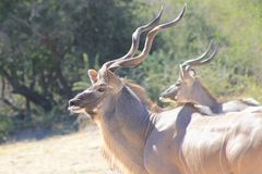 Kudu antilop - tjurar från härliga Afrika arkivbilder