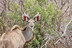Kudu Antilope στο πάρκο Kruger, Νότια Αφρική Στοκ φωτογραφία με δικαίωμα ελεύθερης χρήσης