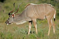 Kudu Antilope stockbilder