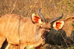 Kudu Antilope. In south africa during sunset Royalty Free Stock Photos