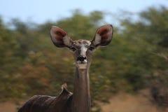Kudu Antilope Royalty-vrije Stock Afbeeldingen