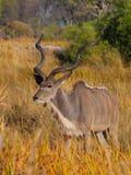 Kudu-Antilope Lizenzfreie Stockfotos