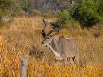 Kudu-Antilope Stockfoto