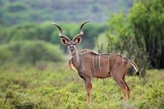 Kudu Antilope Lizenzfreie Stockfotos