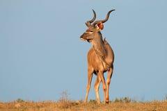 Kudu Antilope Stockbild