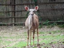 Kudu Antilope Lizenzfreies Stockbild