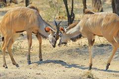 Kudu-Antilope - afrikanischer Hintergrund der wild lebenden Tiere - Kampf für Herrschaft stockfotos