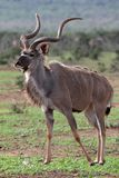 Kudu Antilope Bull Lizenzfreies Stockfoto
