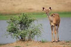 Kudu Antilope, Südafrika lizenzfreie stockfotos
