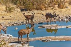 Kudu antilopes drinking Royalty Free Stock Photography
