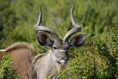 Kudu antylopa Obraz Royalty Free