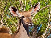 Kudu antylopa Obrazy Royalty Free