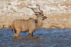 Kudu antylopa przy waterhole Obraz Royalty Free