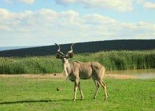 Kudu antylopa przy waterhole w Afryka Zdjęcia Stock
