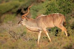 Kudu antylopa w naturalnym siedlisku Obraz Stock