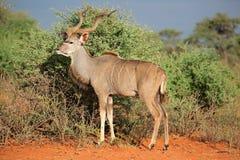 Kudu antylopa w naturalnym siedlisku Zdjęcie Stock