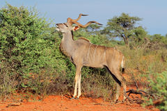 Kudu antylopa w naturalnym siedlisku Fotografia Royalty Free