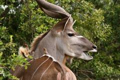 Kudu ativo Fotografia de Stock Royalty Free