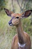 Kudu baby, Kudu Antelope in African Bush royalty free stock images