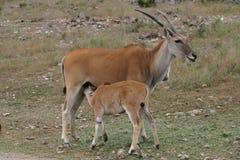 Kudu behandla som ett barn sjukvård på mamma Arkivbilder