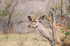 Kudu behind broken tree Stock Photography