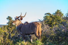 Kudu The Boss. Image Shot at Addo Elephant National Park royalty free stock photos