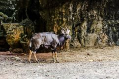 Kudu is a brown-haired wild animal. royalty free stock photos