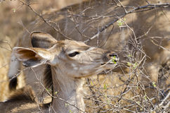 Kudu browsing Stock Photo