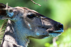 Kudu Buck Female Portrait Royalty Free Stock Photography