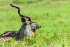 Kudu Buck Head Horns Wildlife Animals Stock Photography