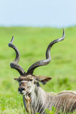 Kudu Buck Head Horns Wildlife Animals Stock Photos