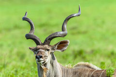 Kudu Buck Head Horns Wildlife Animals Stock Image
