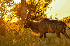 Kudu Buck at synunset Stock Images