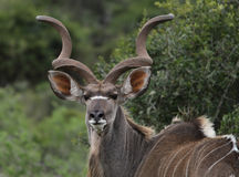Kudu Bull. In the Addo National Park, South Africa Royalty Free Stock Photo