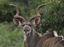 Kudu Bull Foto de archivo libre de regalías