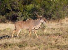 Kudu Bull Images libres de droits