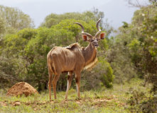 Kudu Bull Lizenzfreies Stockfoto