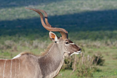Kudu Bull. Close up of Kudu bull in Addo National Park, South Africa Stock Image