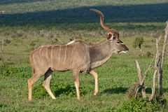 Kudu bull. In Addo National Park, South Africa Stock Images