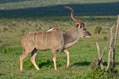 Kudu bull Stock Images